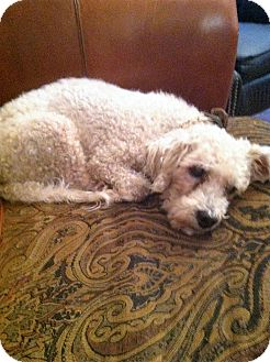 Poodle (Miniature) Dog for adoption in Boerne, Texas - Willie
