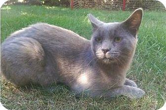 American Shorthair Cat for adoption in Lorain, Ohio - Gilderoy
