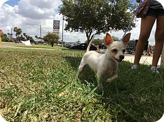 Chihuahua/Terrier (Unknown Type, Small) Mix Dog for adoption in Brownsville, Texas - Tank