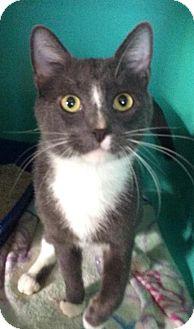 Domestic Shorthair Cat for adoption in Breinigsville, Pennsylvania - Marlin