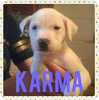 Australian Cattle Dog/Pit Bull Terrier Mix Puppy for adoption in Wichita Falls, Texas - Karma