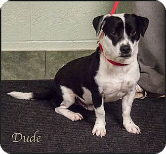 Corgi Mix Dog for adoption in Ada, Oklahoma - Dude