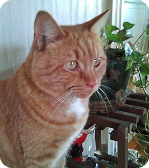 Domestic Shorthair Cat for adoption in Medford, Massachusetts - Tiger