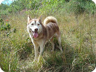Husky Mix Dog for adoption in Redmond, Washington - Lulu