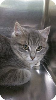 Domestic Shorthair Kitten for adoption in Richboro, Pennsylvania - Morey Amsterdam