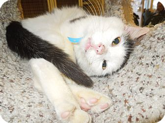 Domestic Shorthair Cat for adoption in Medina, Ohio - Gordon