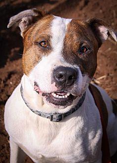 Pit Bull Terrier Mix Dog for adoption in St Helena, California - Gunner