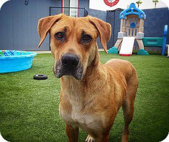 Labrador Retriever Mix Dog for adoption in Phoenix, Arizona - Rain