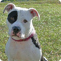American Bulldog/Terrier (Unknown Type, Small) Mix Dog for adoption in Queenstown, Maryland - Foxy