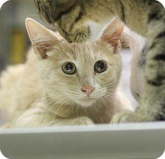 Domestic Mediumhair Kitten for adoption in Mount Laurel, New Jersey - Pumpkin