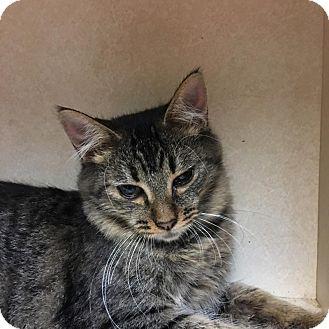 Domestic Shorthair Kitten for adoption in Westminster, California - Kat