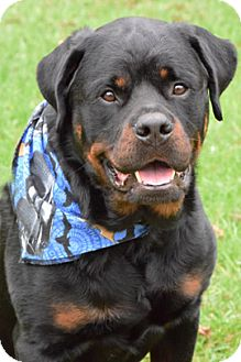 Rottweiler Dog for adoption in Mason, Michigan - Buddy