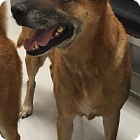 Adopt A Pet :: Ranger - Ft. Lauderdale, FL