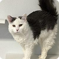 Adopt A Pet :: Domino - Greensburg, PA