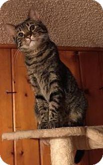 American Shorthair Cat for adoption in Sedalia, Missouri - Sadie