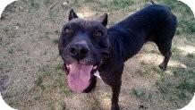 American Staffordshire Terrier/Labrador Retriever Mix Dog for adoption in Valley Village, California - EMMA