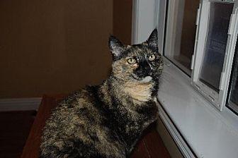 Domestic Shorthair Cat for adoption in Auburn, California - Egee