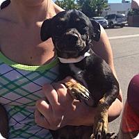 Adopt A Pet :: Rocket - Anaheim, CA