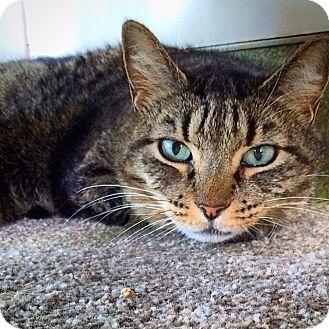 Domestic Shorthair Cat for adoption in Portland, Oregon - sissy
