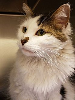 Domestic Mediumhair Cat for adoption in Beacon, New York - Smudge