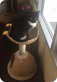 Domestic Mediumhair Cat for adoption in Los Angeles, California - Tux (bonded to Thumper)