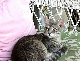 American Shorthair Cat for adoption in Texarkana, Arkansas - Cupcake