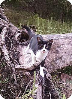 Domestic Shorthair Kitten for adoption in Fischer, Texas - Cuddles