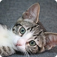 Domestic Shorthair Cat for adoption in cupertino, California - Marie