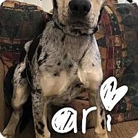 Adopt A Pet :: Ari - Garden City, MI