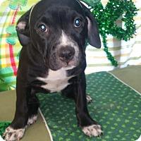 Adopt A Pet :: Celina - Detroit, MI