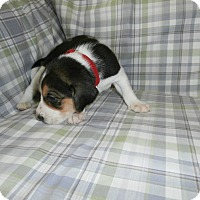 Beagle/Hound (Unknown Type) Mix Puppy for adoption in North Myrtle Beach, South Carolina - Lady