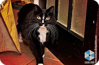 Domestic Longhair Cat for adoption in Columbia, Maryland - Button