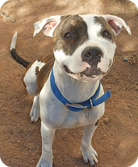American Pit Bull Terrier Mix Dog for adoption in Phoenix, Arizona - Pippa