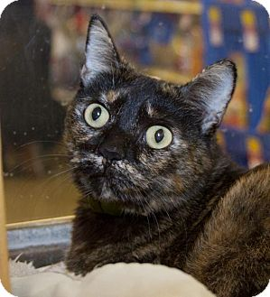 Domestic Shorthair Cat for adoption in Irvine, California - Reeses