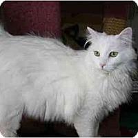 Adopt A Pet :: Cotton - Arlington, VA