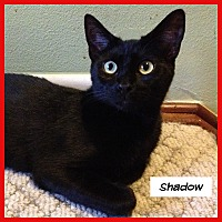 Domestic Shorthair Cat for adoption in Miami, Florida - Shadow