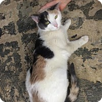 Domestic Shorthair Cat for adoption in New York, New York - Nani