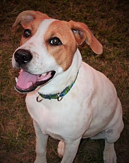 Pointer Mix Dog for adoption in Tallahassee, Florida - Maple