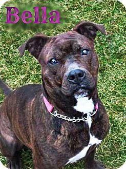 Boxer/American Pit Bull Terrier Mix Dog for adoption in Roanoke, Virginia - Bella