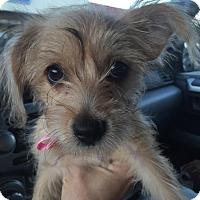 Adopt A Pet :: Baby Puppy Nilu - North Bend, WA