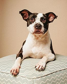 American Staffordshire Terrier Mix Dog for adoption in sugar land, Texas - Dayna