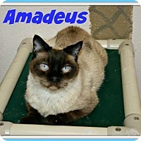 Adopt A Pet :: Amadeus - Grand Junction, CO