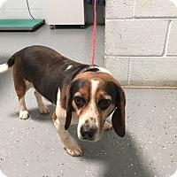 Adopt A Pet :: Griffey - Media, PA
