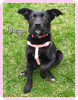 Labrador Retriever/Shepherd (Unknown Type) Mix Puppy for adoption in Elburn, Illinois - Theryn