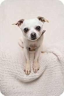 Chihuahua Mix Dog for adoption in Dublin, California - Pablo