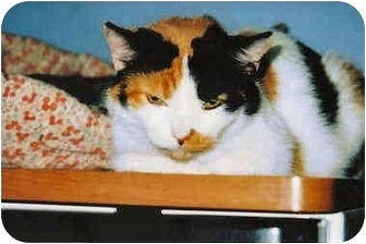American Shorthair Cat for adoption in Cleveland, Ohio - Theresa