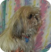 Shih Tzu Dog for adoption in Antioch, Illinois - Dolce Grrbana  ADOPTED!!