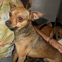 Chihuahua/Miniature Pinscher Mix Dog for adoption in Albany, Oregon - Noah
