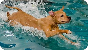 Pit Bull Terrier Mix Dog for adoption in Midlothian, Virginia - Nina