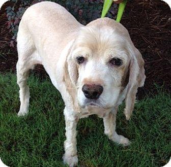 Cocker Spaniel Mix Dog for adoption in Alpharetta, Georgia - Primo